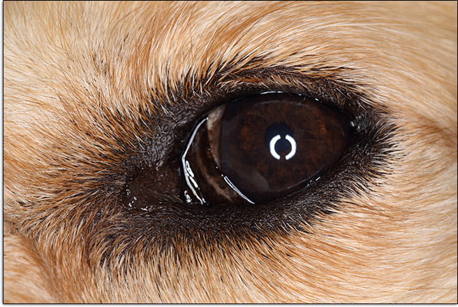 Ring Flash Catchlights in Dog's Eye